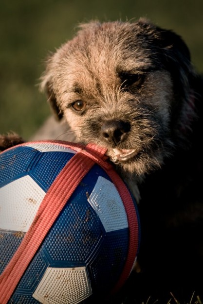 Border Terrier dog, chewing a ball