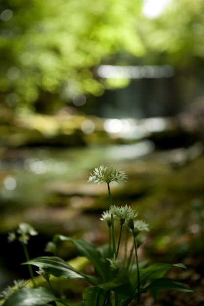 wild-garlic-woods-bersham-wrexham